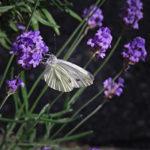 Victorian DIY: Lavendelstokjes maken