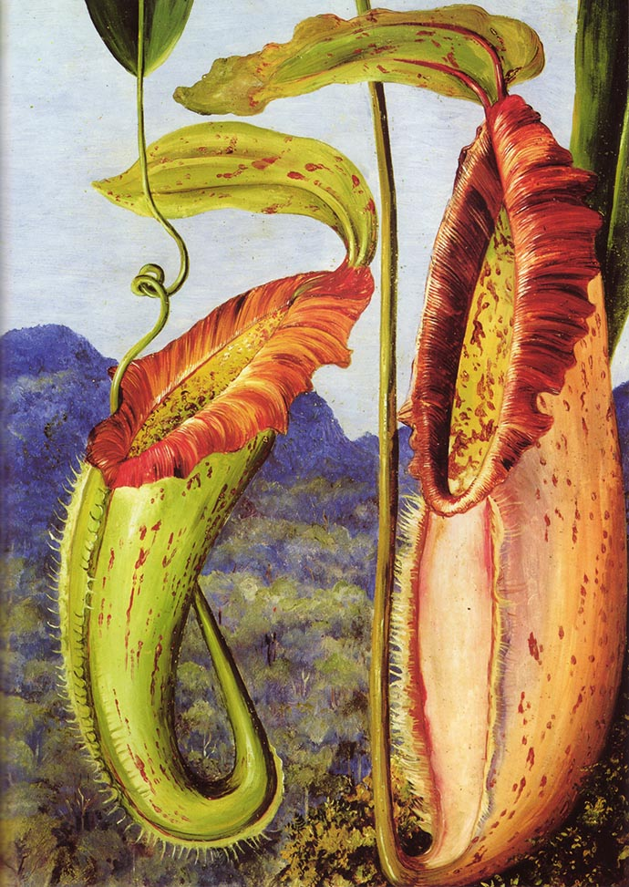 Nepenthes Northiana door Marianne North