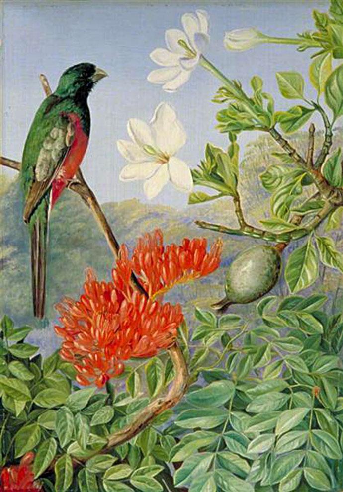 Twee natalstruiken in bloei, met een trogon, door Marianne North (1882) [Publiek domein].