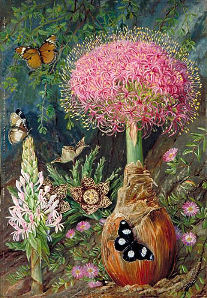 Buphane toxicara, orbea variegeta en andere bloemen in de omgeving van Grahamstown (tegenwoordig Makhanda) in Zuid-Afrika, door Marianne North [Publiek domein].