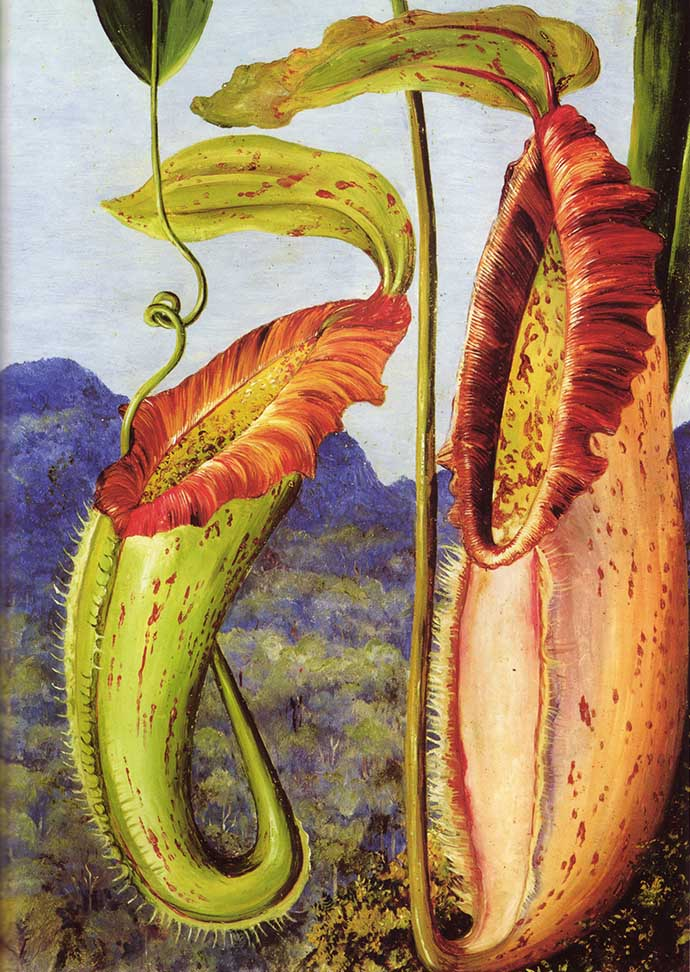 De vleesetende bekerplant nepenthes northiana, als eerste ontdekt en beschreven door Marianne North tijdens haar reis naar Sarawak op Borneo, rond 1876 [Publiek domein].
